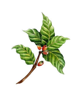 Watercolor painting coffee branch green red berries and flowers on a tree branch coffee plantation