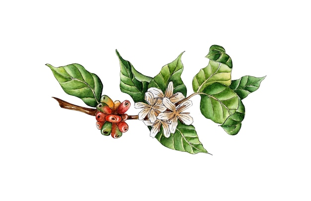 Watercolor painting coffee branch green red berries and flowers on a tree twig coffee plantation