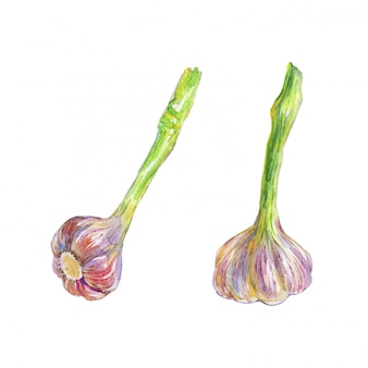 Watercolor painting garlic isolated. hand drawn vegetable illustration