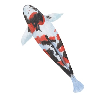 Watercolor painting of a koi carp fish