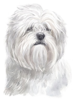 Watercolor painting of lhasa apso