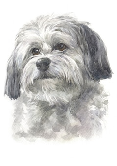 Watercolor painting, long-haired dog, white - gray fur, havanese breed