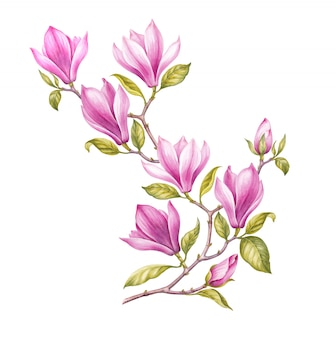 Watercolor painting magnolia blooming flower.
