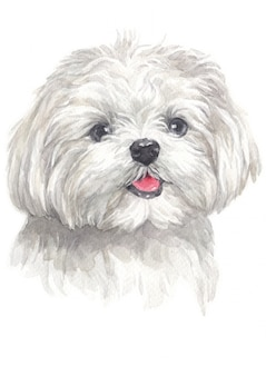 Watercolor painting of maltese