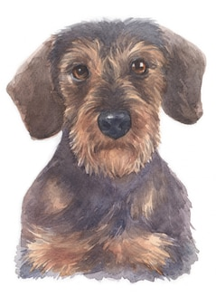 Watercolor painting of miniature dachshund