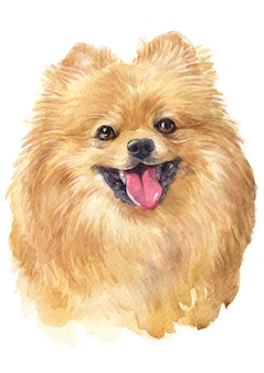 Watercolor painting of pomeranian