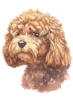 Watercolor painting of poodle