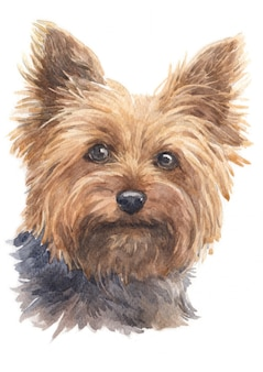 Watercolor painting of yorkshire terrier