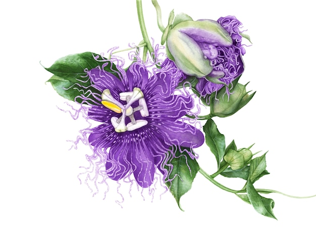 白い背景の水彩画のトケイソウの花。