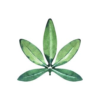 水彩トケイソウ緑の葉。