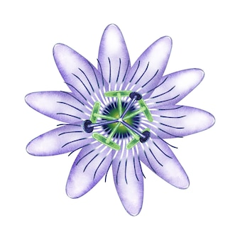 Акварельная пассифлора в цвету.