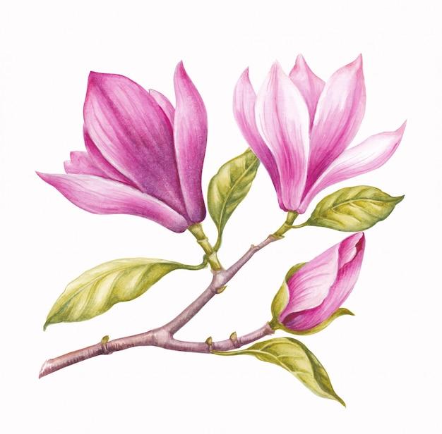 Watercolor pink magnolia.