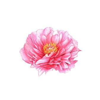 화이트에 수채화 분홍색 모란 꽃입니다.