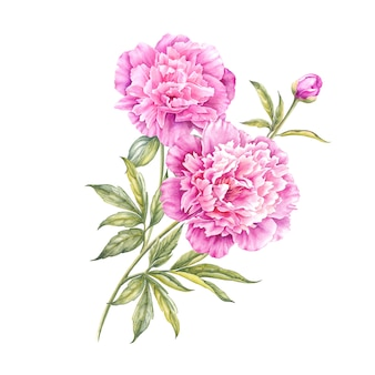 Watercolor pink peony.