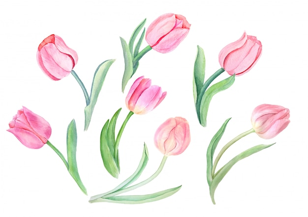 Watercolor pink tulips vintage botanical illustration