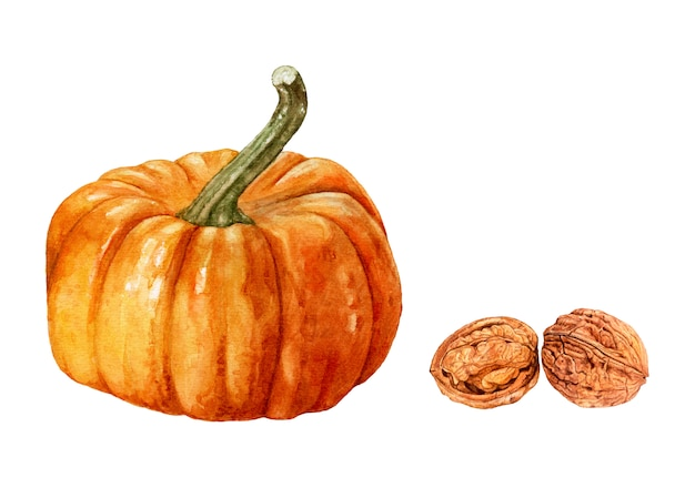 Watercolor pumpkin, walnuts isolated.