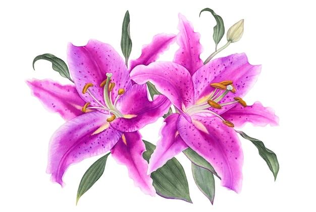 白い背景の葉と水彩の紫色のユリ。
