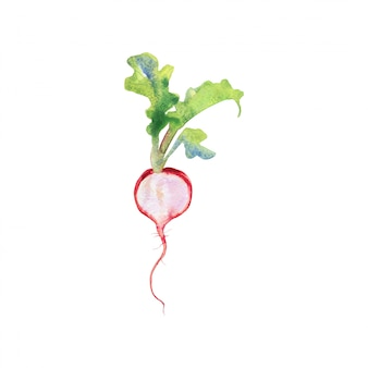 Watercolor radish with tops. painting root crop isolated hand drawn vegetable illustration