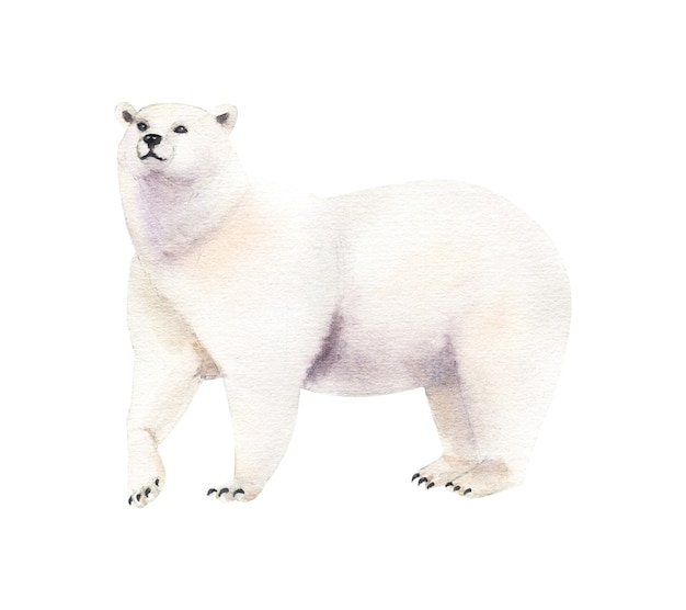Watercolor realistic polar bear on white background