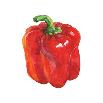 Watercolor red paprika isolated hand drawn vegetable illustration. painting bell pepper