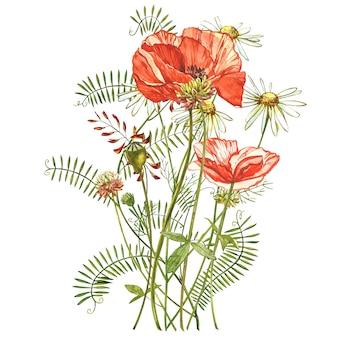 Watercolor red poppies. wild flower set isolated on white.