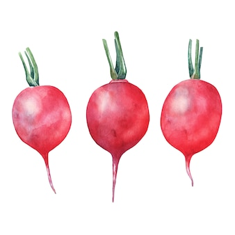 Watercolor red radish