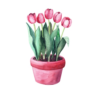 냄비에 수채화 빨간 튤립입니다. 정원에 있는 집 식물. 흰색 배경에 고립 된 그림 프리미엄 사진