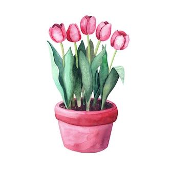 냄비에 수채화 빨간 튤립입니다. 정원에 있는 집 식물. 흰색 배경에 고립 된 그림