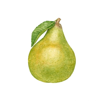 Watercolor ripe pear on white.