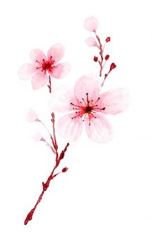 Watercolor sakura branch hand painted.