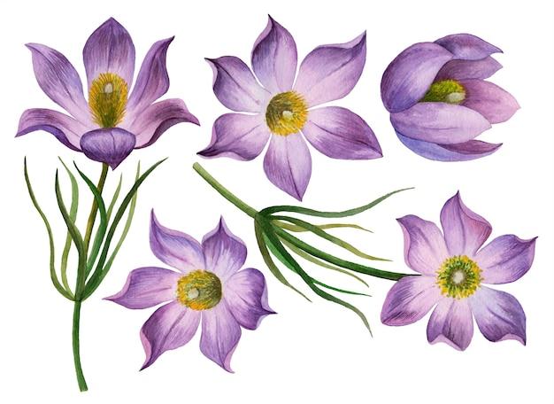 オキナグサの花の水彩セット、分離された最初の野生の花の手描きイラスト