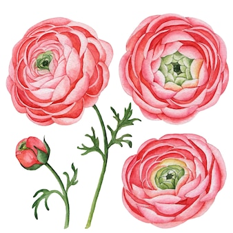 ラナンキュラスの水彩セット、手描きの花のイラストが白で隔離