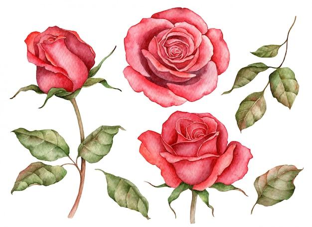 빨간 장미 흰색 절연의 수채화 세트