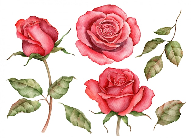 Watercolor set of red roses isolated on white