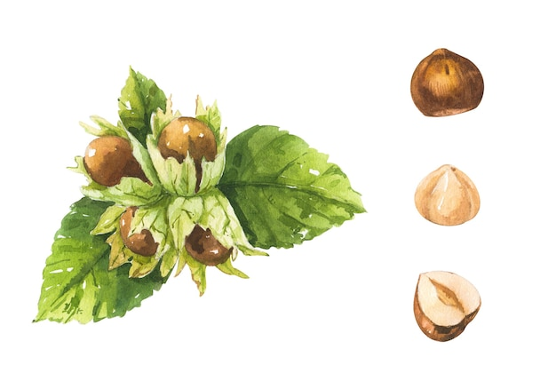 Watercolor set with hazelnut branch and hazelnuts on white background