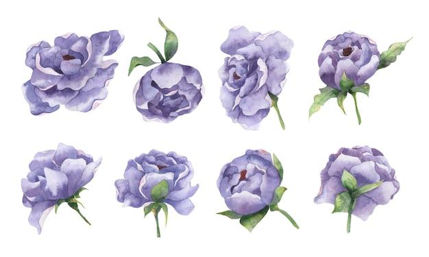 白い背景の上のライラック牡丹の花の花のつぼみの孤立した要素と水彩セット