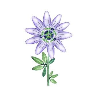 Акварель одиночная пассифлора в цвету.