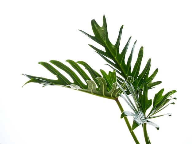 水彩熱帯フィロデンドロンザナドゥ葉