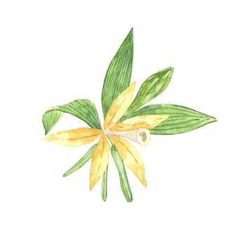 Акварель ванильный цветок с палочками фасоли