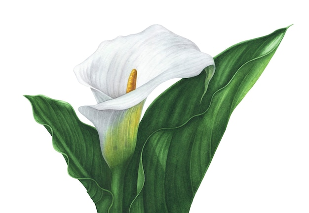 Watercolor white calla lily with green leaves on white background.