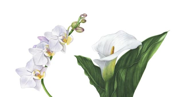수채화 흰 난초 꽃, 잎이 흰색 절연 화이트 칼라 릴리