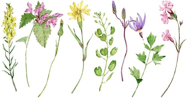 水彩野花。白い背景で隔離の美しい夏の長い茎の牧草地の花。