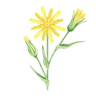 水彩黄色のデイジーの花