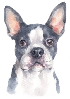Watercolour painting of boston terrier