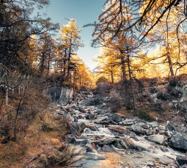 Waterfall flowing on rocks in autumn pine forest