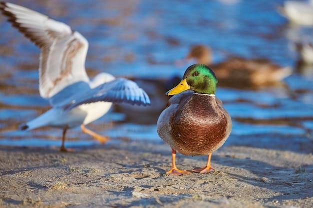 Птицы водоплавающих птиц, самец кряквы и чайки у реки