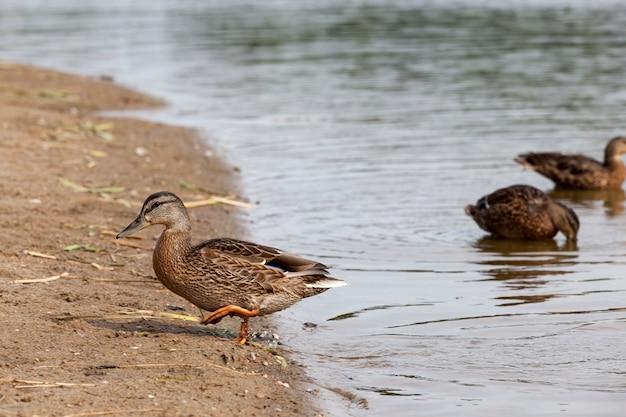 水鳥のアヒル