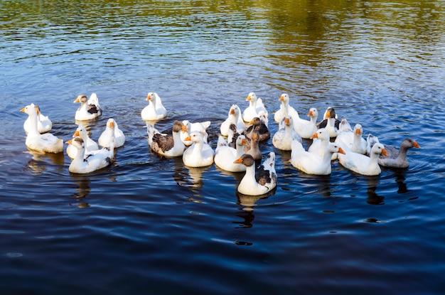 Водоплавающие птицы - гуси, плавающие в озере