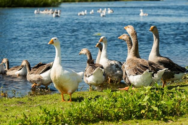 Водоплавающая птица возле пруда, гуси летом на открытом воздухе
