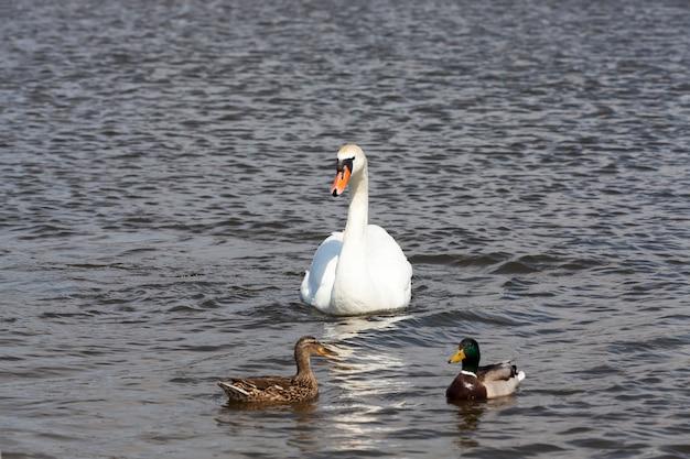 봄이나 여름 시즌에 호수에 있는 물새 백조, 흰 깃털을 가진 일반적인 백조, 봄철에 호수에 흰 백조